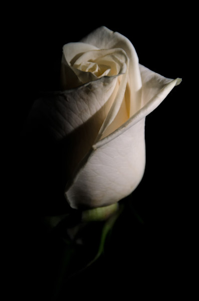 White Rose Low Key Nature Photo Wall Art by Nature Photographer Melissa Fague