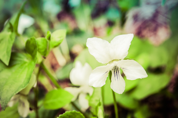 Tranquil China Violet Nature Photo Wall Art by Nature Photographer Melissa Fague