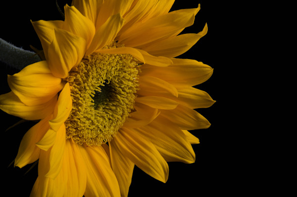 Sunflower from Left Nature Photo Wall Art by Nature Photographer Melissa Fague
