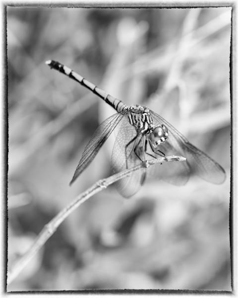 Dragonfly Black and White Wildlife Photo Wall Art by Nature Photographer Melissa Fague