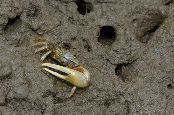 Fiddler Crab Wildlife Photo Wall Art by Nature Photographer Melissa Fague