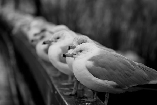 Gull King Wildlife Photo Wall Art by Nature Photographer Melissa Fague
