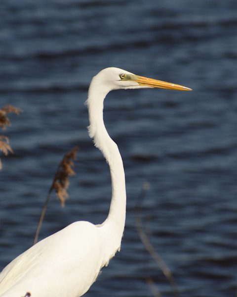Great White Egret at Bombay Hook Wildlife Photo Wall Art by Nature Photographer Melissa Fague