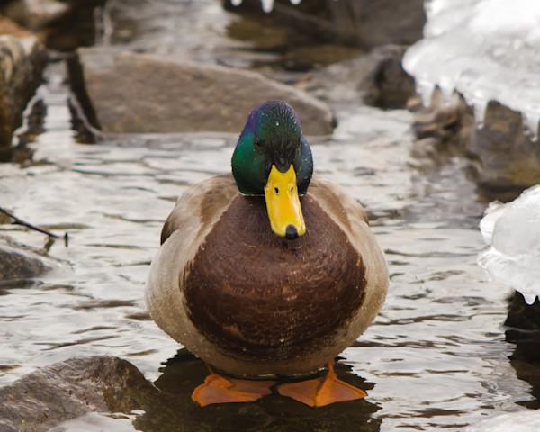 Mallard Duck at Powder Mill Wildlife Photo Wall Art by Nature Photographer Melissa Fague