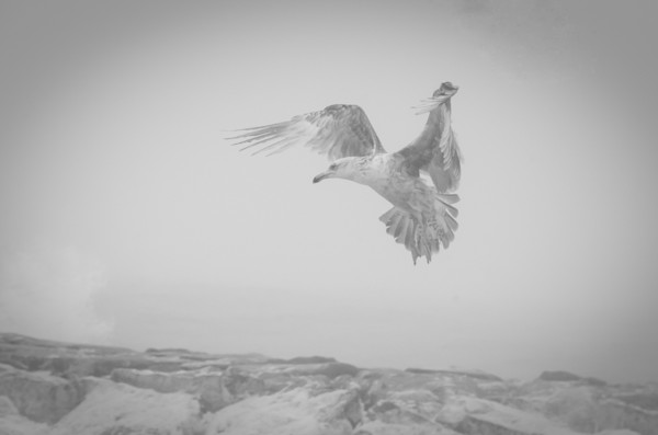 Gull in the Mist Wildlife Photo Wall Art by Nature Photographer Melissa Fague