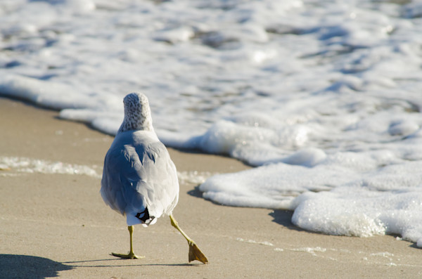 Seagull Shuffle Wildlife Photo Wall Art by Nature Photographer Melissa Fague