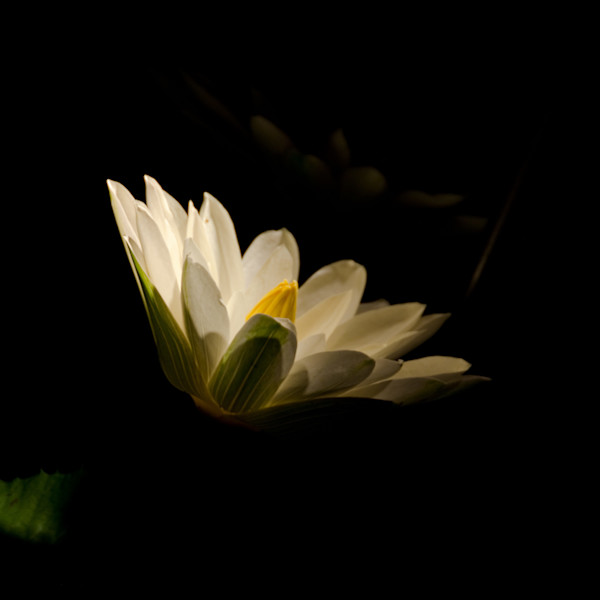 Spot Light on Waterlily Night Photo Wall Art by Nature photographer Melissa Fague