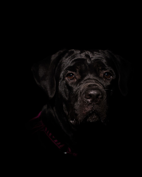 Cane Corso Low Key Dog Photo Wall Art by Nature Photographer Melissa Fague
