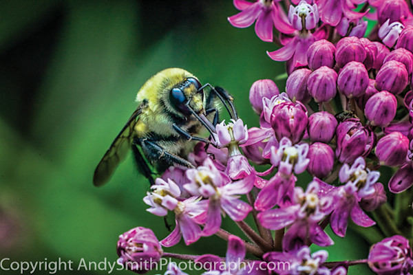 fine art photograph of Bumblebee on Pink Butterfly Weed