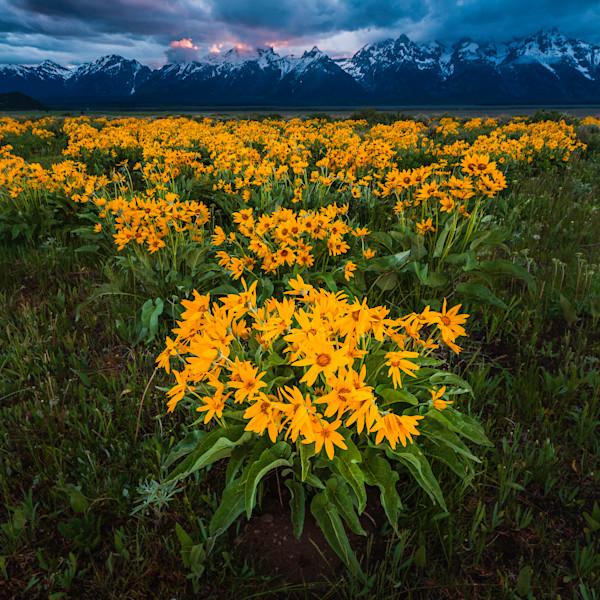 Arrowleaf Wildflowers of the Tetons