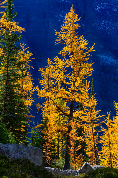 A Larch stands Tall in the Sun
