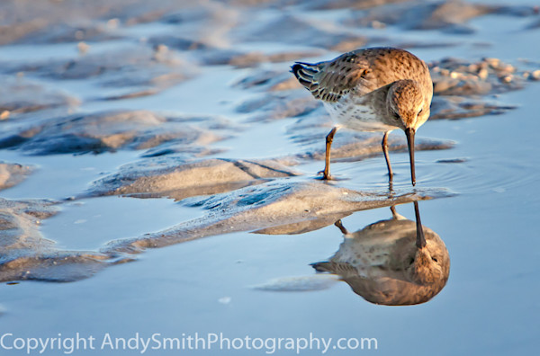Dunlin Reflection  fine art photograph