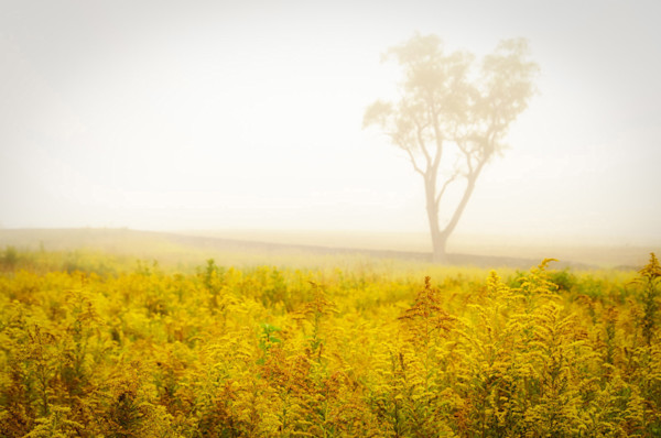 Dreams of Goldenrod and Fog Limited Edition Signed Landscape Photograph by Melissa Fague