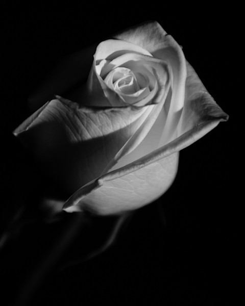 Rose on Black Limited Edition Signed Fine Art Nature Photograph by Melissa Fague