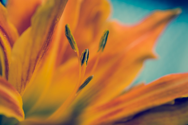 Mystical Tiger Lily Limited Edition Signed Fine Art Nature Photograph by Melissa Fague