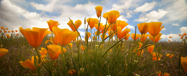 Lijah Hanley Photography of California Poppies