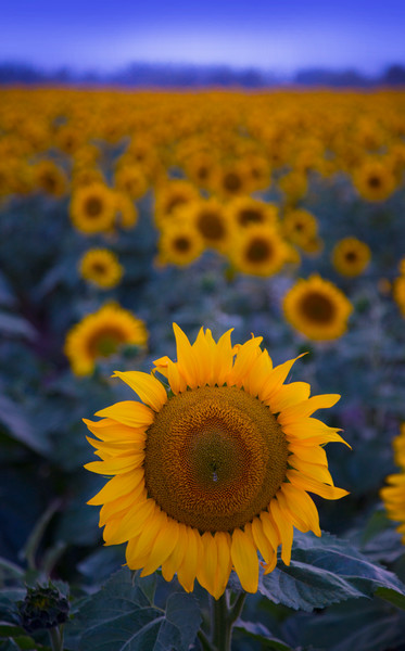 Lijah Hanley Photography Sunflower Spokane Washington