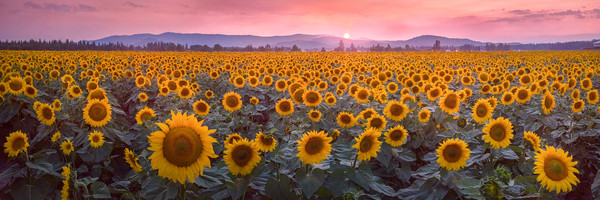 Lijah Hanley Photography sunflowers in washington