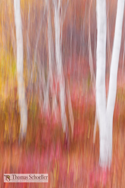 Impressionist interpretation of a Vermont Birch forest abstract art print