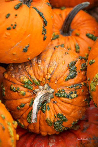 Picked Orange Pumpkins (161564LSND8) Photograph for Sale as Commercial Product or Digital Licensing Only