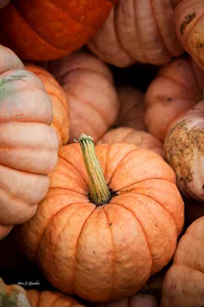 Picked Pumpkins II (161565LSND8-S) Photograph for Sale as Fine Art Print