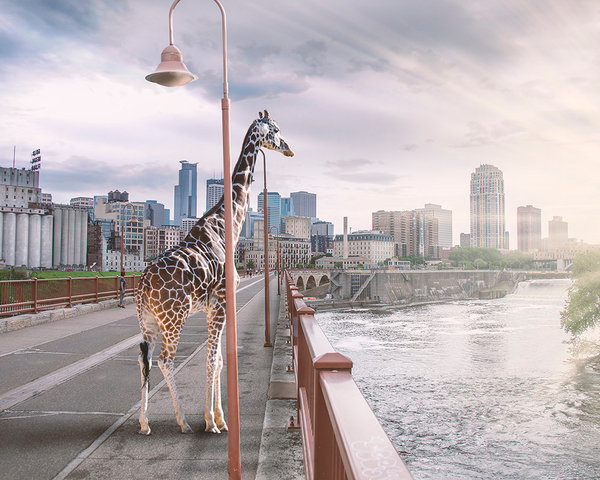 Seemingly almost a natural part of this urban landscape, as if it was just another tourist, a giraffe gazes serenely out across the water to the Minneapolis skyline in this photographic print by Kim Whittemore.