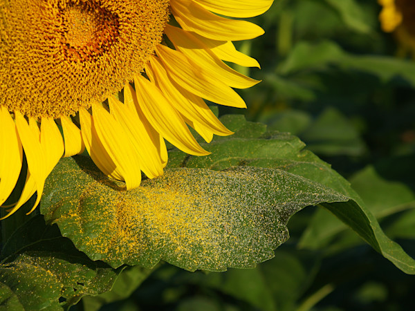Sunflower and Pollen