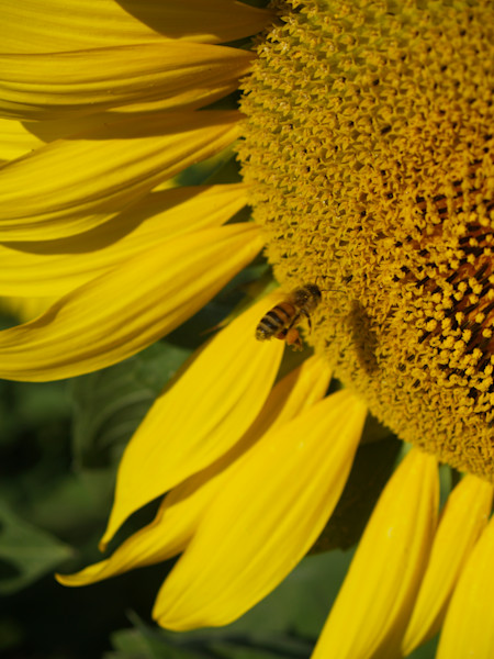 Sunflower and Honeybee