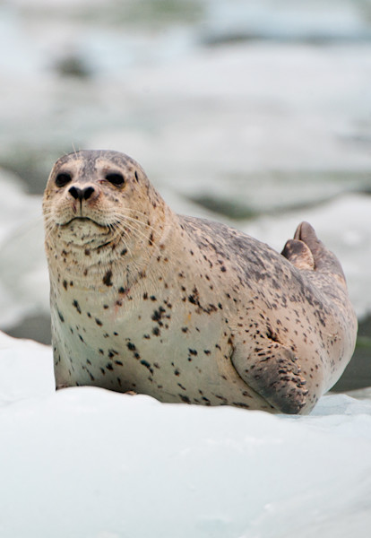 A Harbor Seal (Phoca vitulina) lays on an iceberg in a glacier fjord in Southeast Alaska.  Each spring and summer, these seals congregate at the faces of glaciers to give birth to their young on the icebergs, which offter them protection from predato