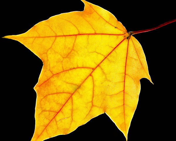 Brilliant Yellow Limited Edition Signed Fine Art Nature Photograph by Melissa Fague