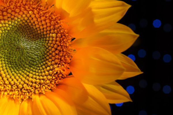 Close-up Sunflower Limited Edition Signed Fine Art Nature Photograph by Melissa Fague
