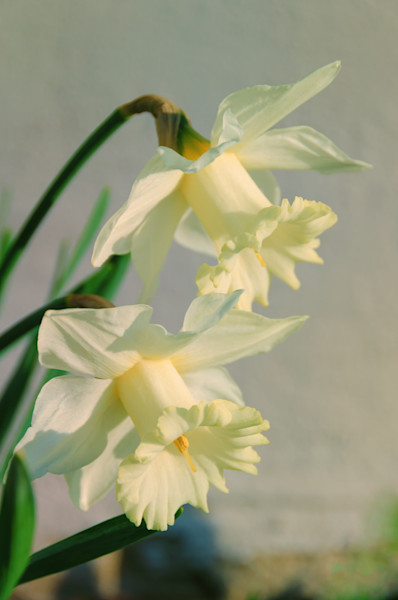 Colorized Daffodils Limited Edition Signed Fine Art Nature Photograph by Melissa Fague