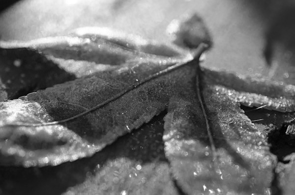 Frost Covered Leaf Limited Edition Signed Fine Art Nature Photograph by Melissa Fague