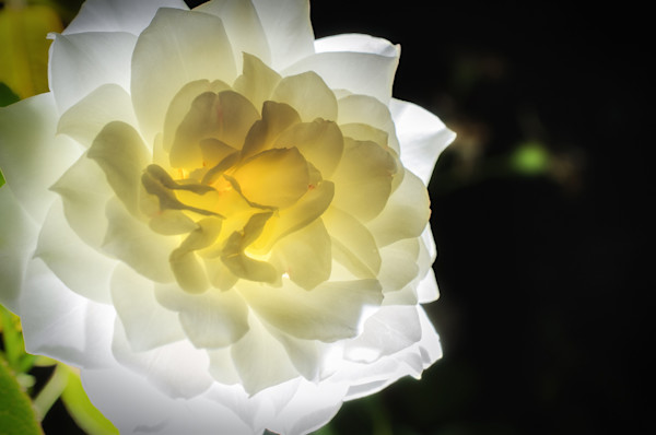 Glowing Rose 2 Limited Edition Signed Fine Art Nature Photograph by Melissa Fague