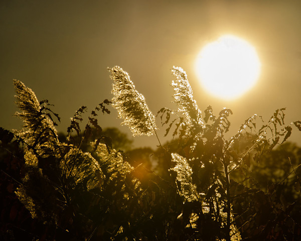Golden Marsh Weeds Limited Edition Signed Fine Art Nature Photograph by Melissa Fague