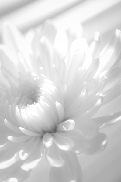 Infrared Flower Limited Edition Signed Fine Art Nature Photograph by Melissa Fague