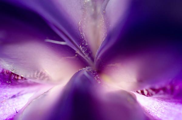 Iris Center Petals Limited Edition Signed Fine Art Nature Photograph by Melissa Fague