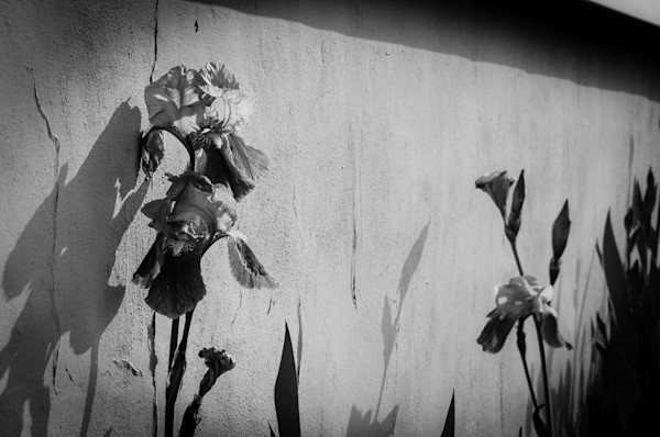 Iris on Wall Black and White Limited Edition Signed Fine Art Nature Photograph by Melissa Fague