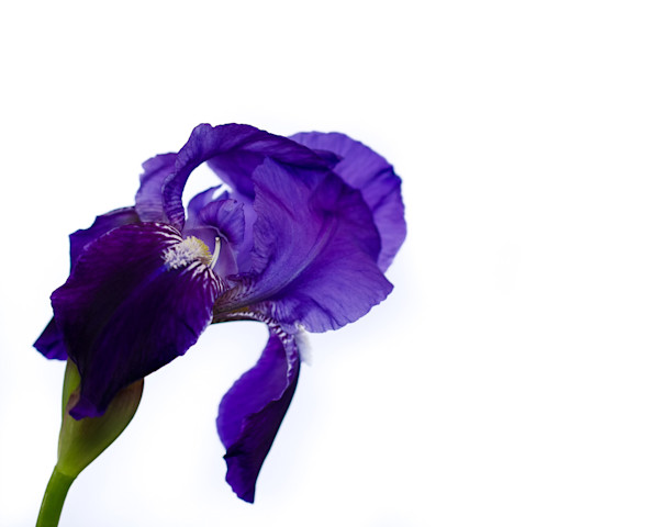 Iris On White Limited Edition Signed Fine Art Nature Photograph by Melissa Fague