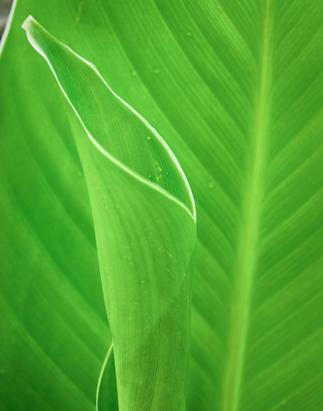 Leaves Canna Lily Limited Edition Signed Fine Art Nature Photograph by Melissa Fague