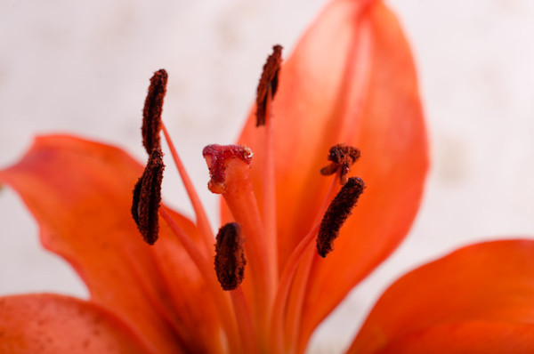 Lily Stigma Limited Edition Signed Fine Art Nature Photograph by Melissa Fague