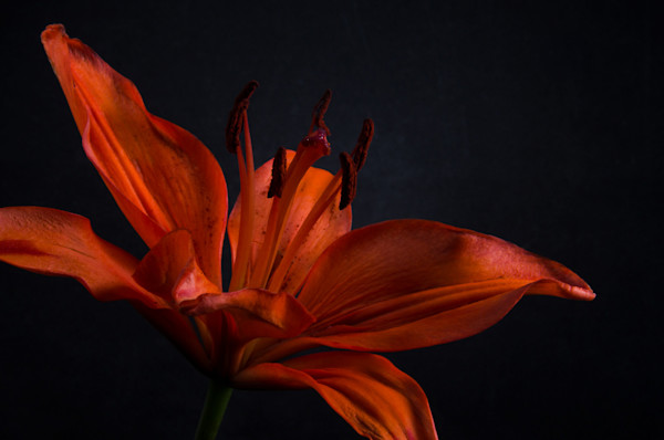 Orange Lily with Back Light Limited Edition Signed Fine Art Nature Photograph by Melissa Fague