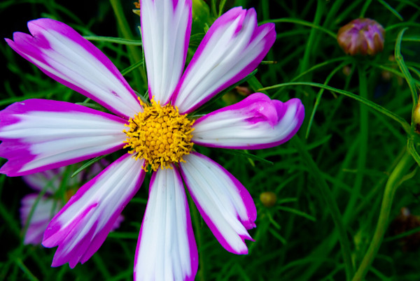 Painted Petals Limited Edition Signed Fine Art Nature Photograph by Melissa Fague