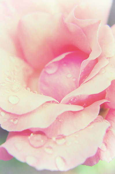 Softened Rose Limited Edition Signed Fine Art Nature Photograph by Melissa Fague