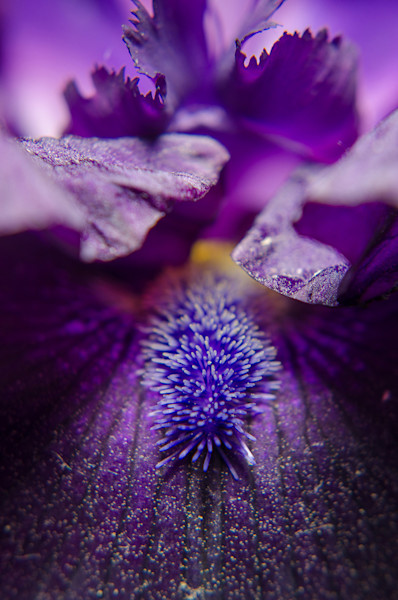 Stigma of Iris Limited Edition Signed Fine Art Nature Photograph by Melissa Fague