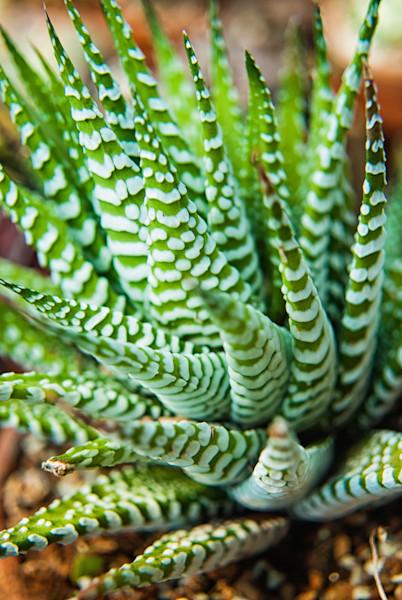Succulent 2 Limited Edition Signed Fine Art Nature Photograph by Melissa Fague