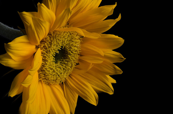 Sunflower from Left Limited Edition Signed Fine Art Nature Photograph by Melissa Fague