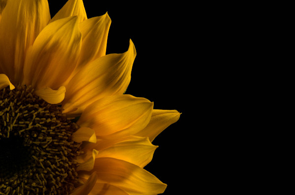 Sunflower in Corner Limited Edition Signed Fine Art Nature Photograph by Melissa Fague