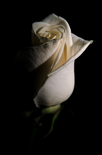 White Rose Low Key Limited Edition Signed Fine Art Nature Photograph by Melissa Fague