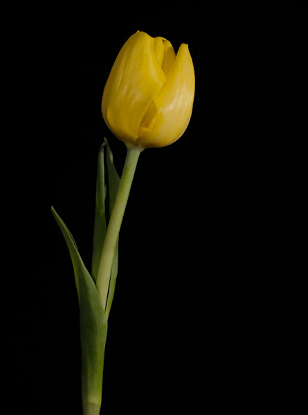 Yellow Tulip Black Background 5 Limited Edition Signed Fine Art Nature Photograph by Melissa Fague
